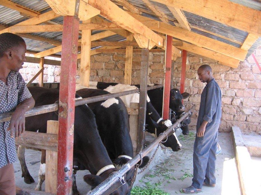Koeien Imani B